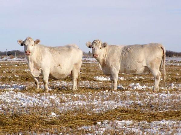 """Шароле, порода крупного рогатого скота мясного направления. Выведена в 18 в. во Франции, в районе Шароле улучшением местного скота; в 19 в. проводили скрещивание шароле с шортгорнами.  Животные крупные,обмускуленный, окорока хорошо выполнены. Волосяной покров тонкий, длинный, часто с извитостью. Масть кремово-белая, носовое """"зеркало"""" розовое, рога и копыта воскового цв"""