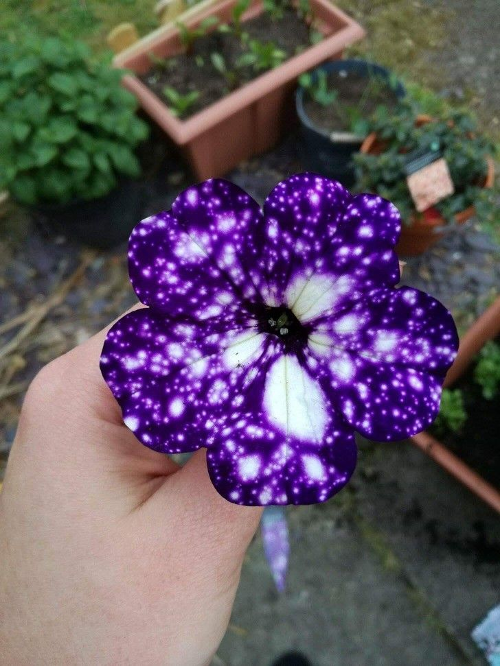 The Night Sky Petunia Is A Flower That Looks Like It S Covered In Stars Night Sky Petunia Petunia Flower Galaxy Flowers