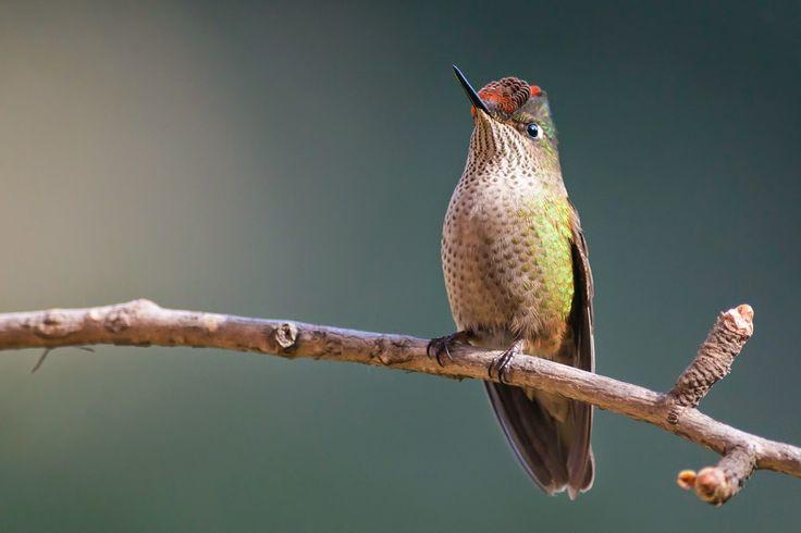 Aves que vive en Chile. Nocolás Vallejo R.