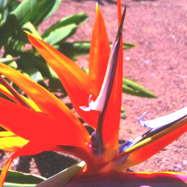 Fire flower @ Canarian Garden