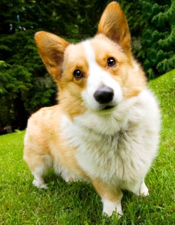Known for their short legs & big smiles, learn more about Pembroke Welsh Corgis!!