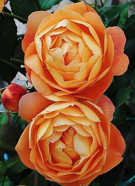 lady emma hamilton roses plants pinterest flower. Black Bedroom Furniture Sets. Home Design Ideas