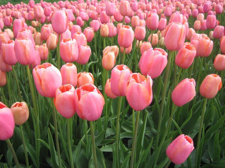 tulpen in de polder bij Emmeloord
