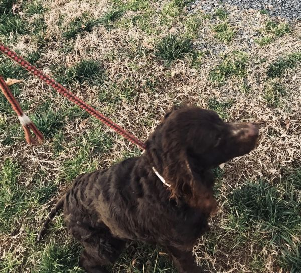 Abby, adoptable Dog, Adult Female American Water Spaniel