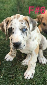 Litter Of 5 Great Dane Puppies For Sale In Bakersfield Ca Adn