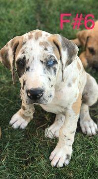 Great Dane For Adoption Near Tampa Florida Meet Caramel