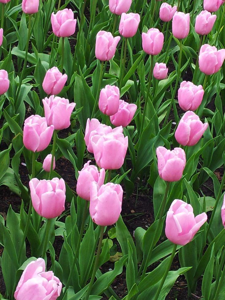 Tulips at the 'Keukenhof', Lisse, the Netherlands ( photo credits : Ingrid Jonkers ).