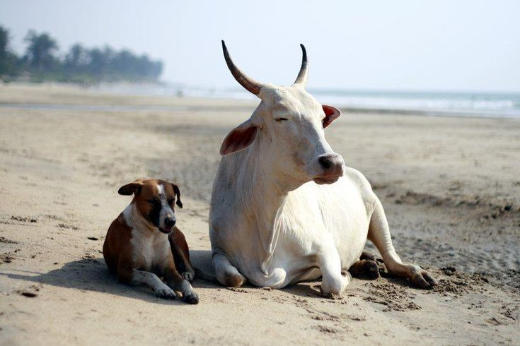 dog and cow friends chilling out on arambol beach goa by arijjitraja