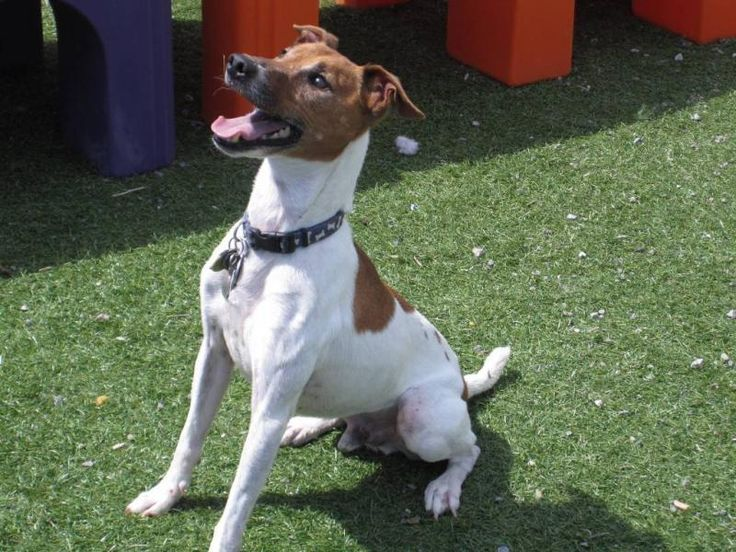 Meet Dixon, an adoptable Jack Russell Terrier looking for a forever home. If you're looking for a new pet to adopt or want information on how to get involved with adoptable pets, Petfinder.com is a great resource.