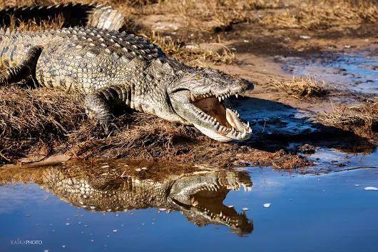 Krokodyl o poranku - zdjęcie Kaśka Sikora  #ChobeNationalPark  #fotografWarszawa  #Africa    #Chobe #wildlifephotography      #naturephotography #Sikora #Sikorafotograf #KaśkaSikora #FotografWarszawa  #KatarzynaSikora