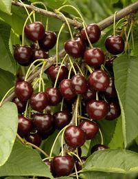 Kirsikka Meelika