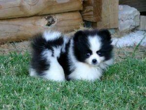 Pomski puppy (pomeranian/husky mix). I will have one some day!!