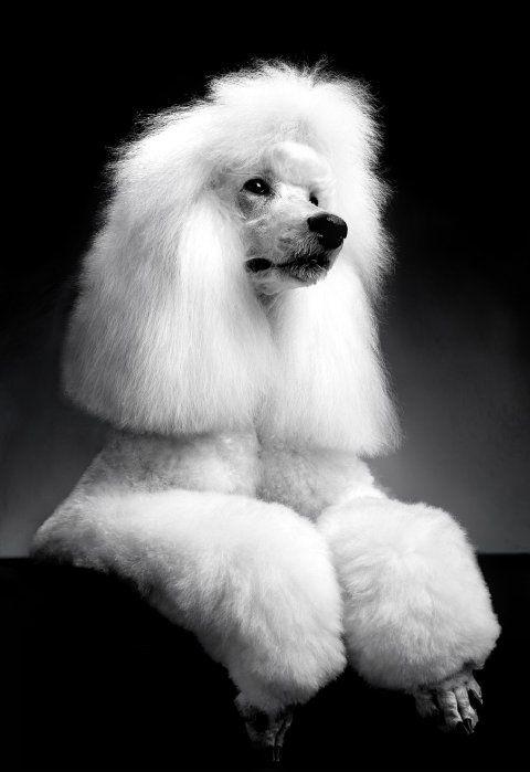 Aubade de la Ferme de l'Écuelle white poodle
