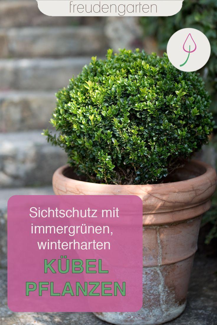 Immergrune Kubelpflanzen Pflanzen Winterharte Pflanzen