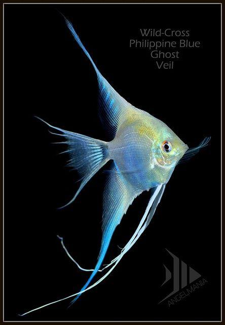 446 best images about angelfish cichlids on pinterest for Alaska freshwater fish