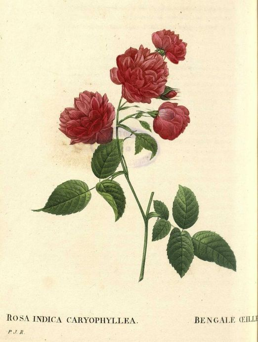 Les Roses, V3, 1835, Pierre-Joseph Redoute  Biblioteca ...