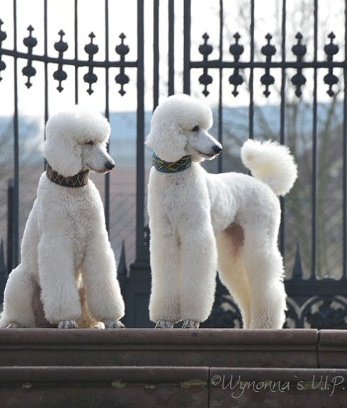 Wynonna and Kitty/statement necklaces just don't pop on other dog breeds, like they do on the poodle.