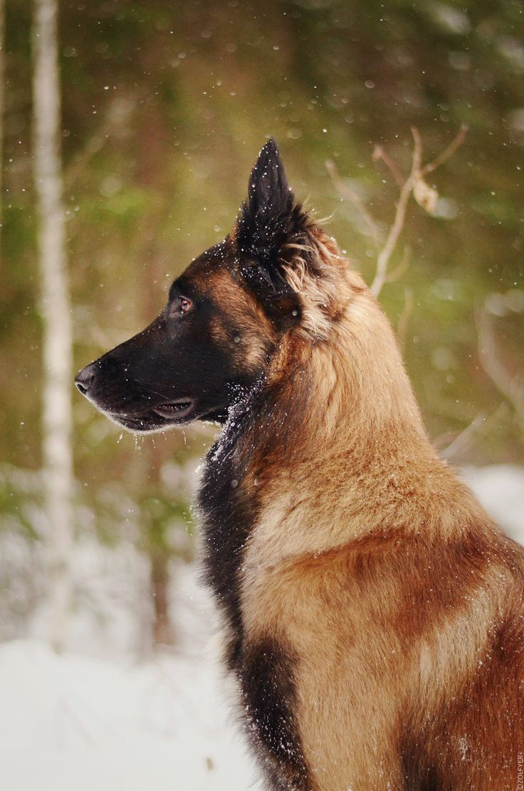 The Belgian Malinois - I want one of these guys, incredible dogs