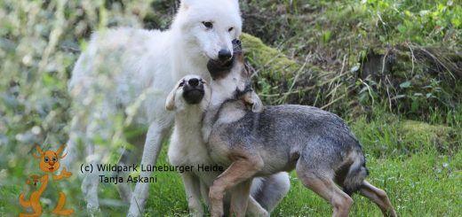 Noran übernimmt den Part des Spielpartners für die beiden wilden Wolfswelpen.