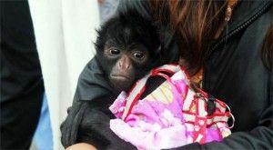 Mono-araña-bebe|Nat-n-Bio
