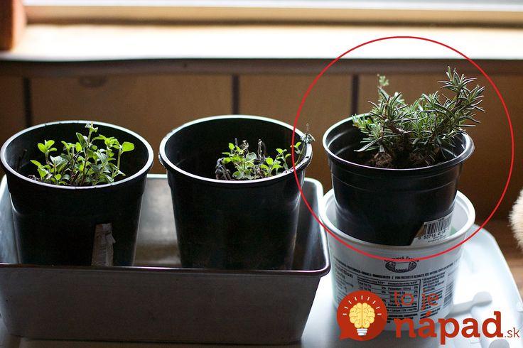Rozmarín je jednou z najužitočnejších byliniek. Čo všetko dokáže a ako ho najjednoduchšie rozmnožíte?