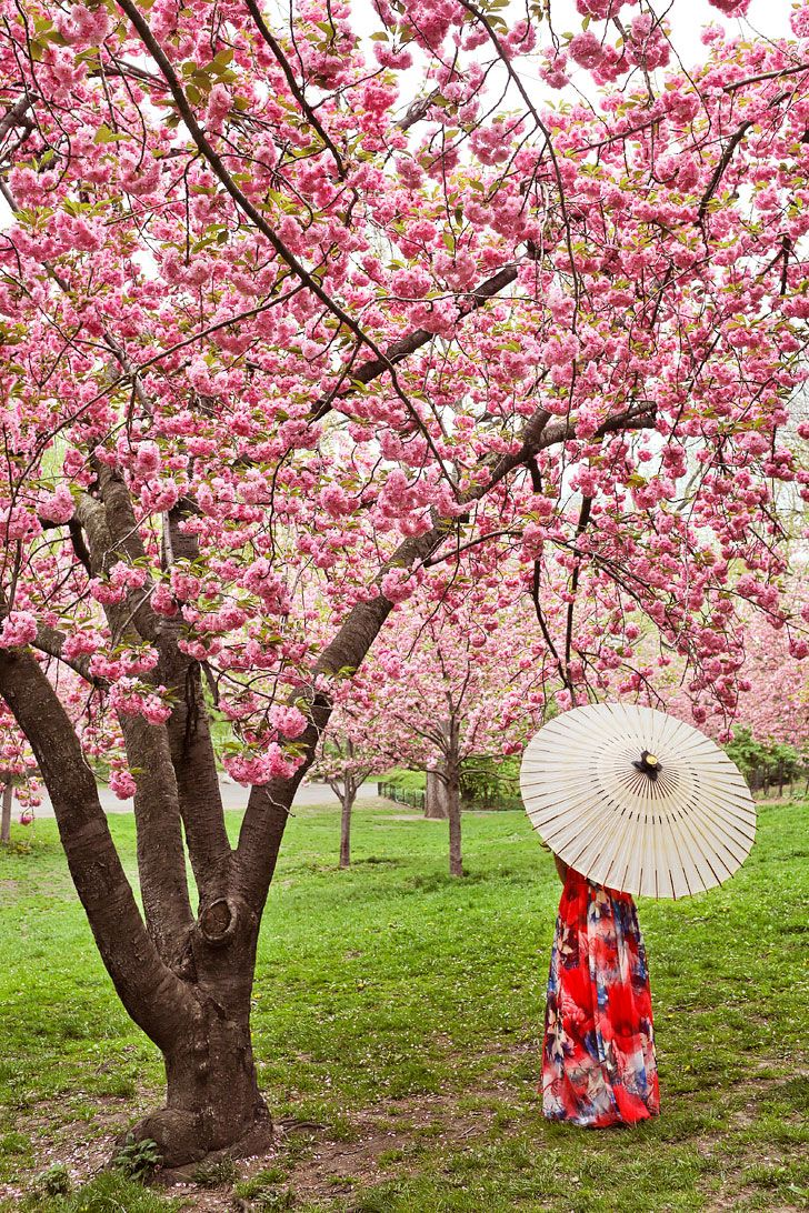 Best Places To See Cherry Blossoms In Nyc Cherry Blossom Places To See Spring Trip