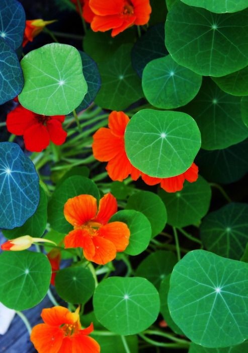 nasturtium, many different colors of flowers available as well as variegated leaf varieties