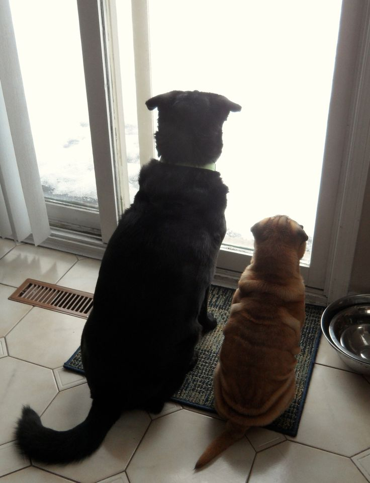 Zoey & Oliver waiting for spring. (Oliver is a Shar Pei & Lab mix)