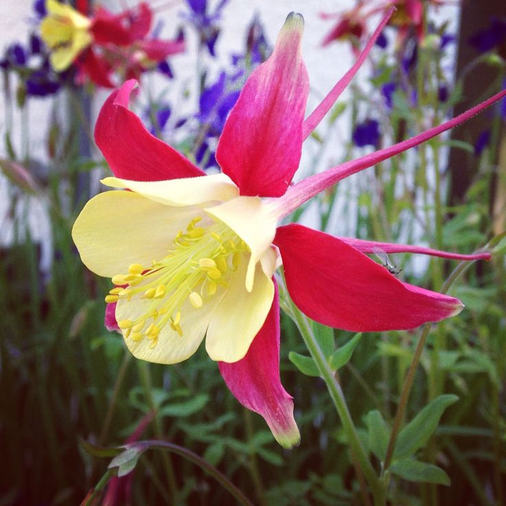 This is my favorite of all - I think she's called Columbine.