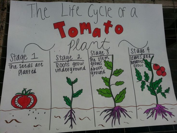 flow diagram example life cycle of tomato plant third grade science  life  life cycle of tomato plant third grade science  life