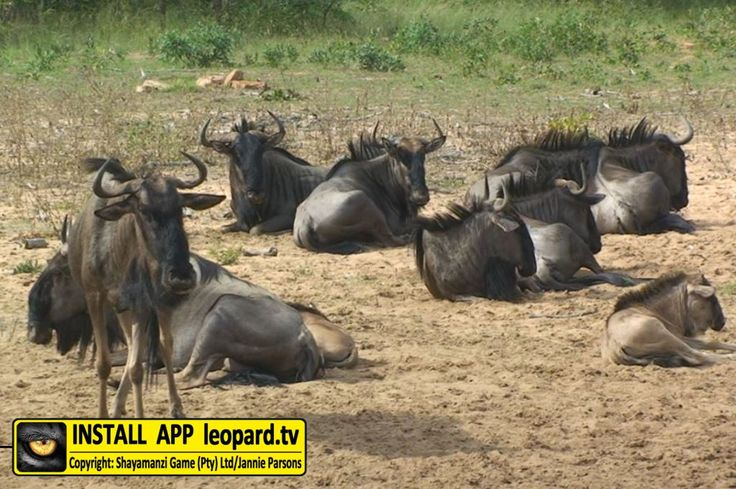 Learn some facts about the horns of the blue wildebeest!  #leopardtv #facts #africa
