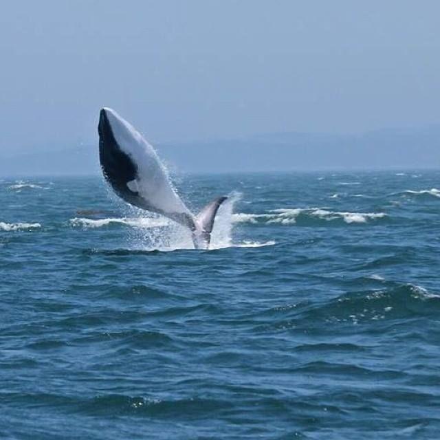 Observation des baleines sur la baie de Fundy | La faune au Nouveau-Brunswick, au Canada #ExploreNB | Photo: @islandquestmarine