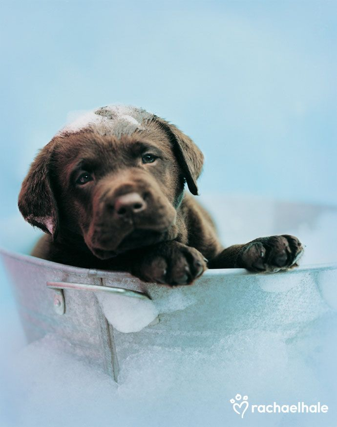 Beau (Chocolate Labrador) - As usual, Beau lets the bubbles go straight to his head.