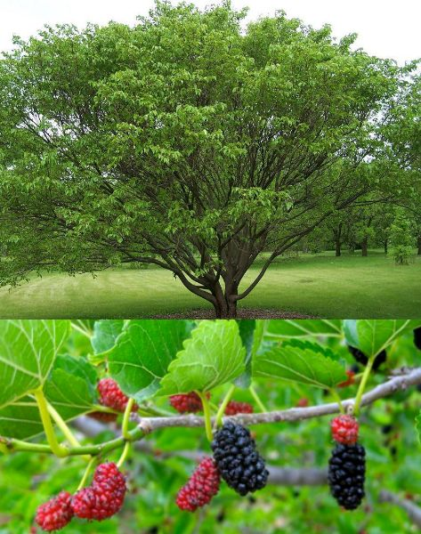 Mulberry Tree, I need one in my future garden !