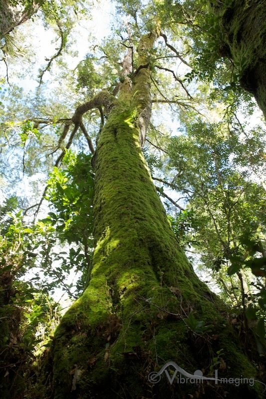 An Antarctic Beech, Border Ranges, New South Wales  photo by Vibrant Imaging