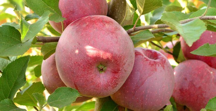 3 soiuri de măr pe care trebuia să le aveți deja în livadă   Paradis Verde