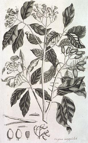 Kruidnagelen, Georg Everhard Rumphius - Amboinsche Kruidboek, Amsterdam 1741. Rumphius (1628-1702) was een van oorsprong Duitse VOC-koopman die op Ambon, een van de zuidelijkste eilanden van de Molukken, gestationeerd was. Alle vrije tijd die zijn ambt hem toeliet, besteedde hij aan het onderzoeken en beschrijven van de Ambonese natuur. Dit belangrijke historische werk werd pas in 2011 in het engelse uitgegeven.