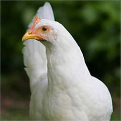 White Leghorn from My Pet Chicken= WANT!!! Lays large white eggs. Heat