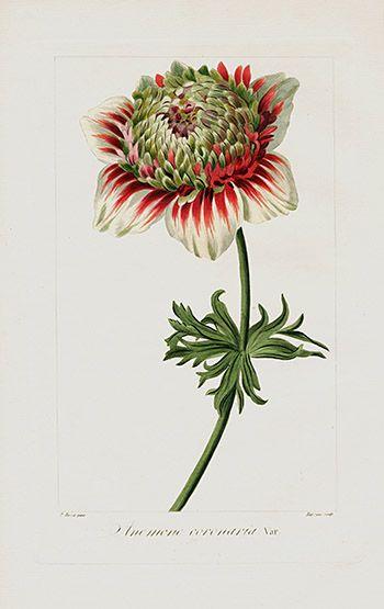 Pancrace Bessa Prints from Herbier General de l'Amateur 1816