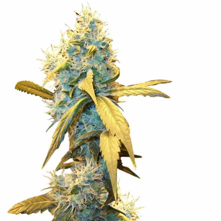 Northern Lights Feminised (Ganja Seeds) - во время цветения имеет практически нейтральный запах.  Имеет пряный вкус и нокаутирующий эффект.
