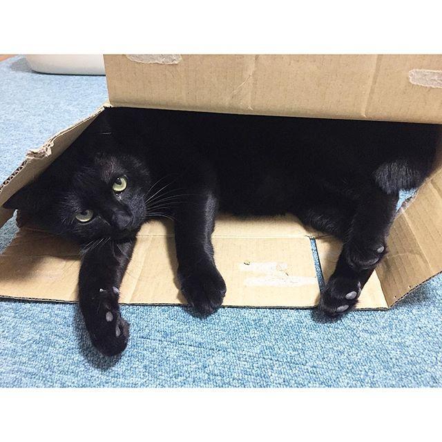 ✴︎ いや、クロちゃん 無理やりやな😂 なかなかきっつきつ。笑 ✴︎ #ねこ#猫#cat#catstagram #cute#くろねこ#blackcat #kurostagram #mew#ふわもこ部#黒猫#にゃんこ#元野良猫#愛猫#ねこあつめ#ねこ部#ニャンスタグラム#みんねこ#boy#happy#picneko#ピクネコ#ハンサム#handsome#ペコねこ部#ねこすたぐらむ#スタペグラム