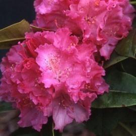 rhododendron - Planter Un Rhododendron Dans Votre Jardin