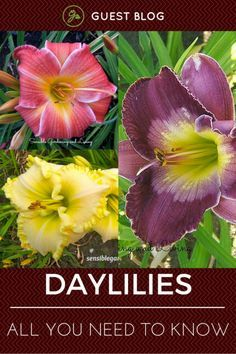 Daylilies – All You Need To Know