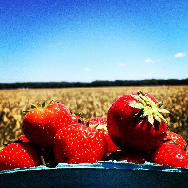 Strawberries Picking In Long Island Ny