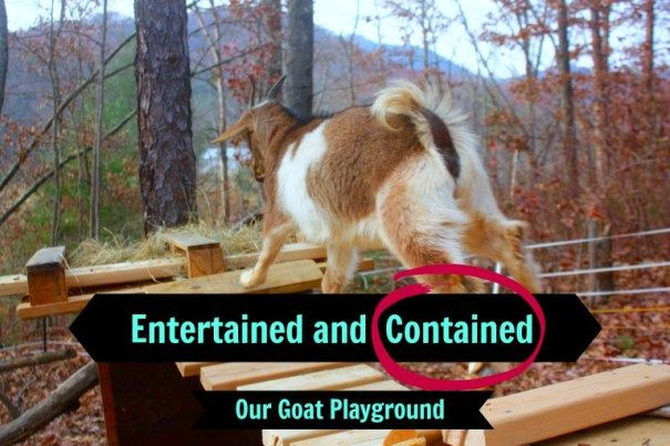Entertaining your homestead goats can be key to keeping them contained!  Our fences get tested much less with our new Goat Playground!