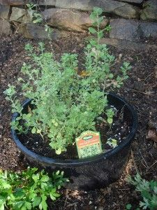 Sweet Marjoram.   Plant marjoram in a pot and then plant the pot in the ground.