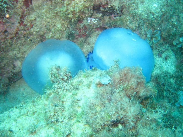 dos medusas rizostoma, yacen en el fondo de la costa de Denia, Alicante.