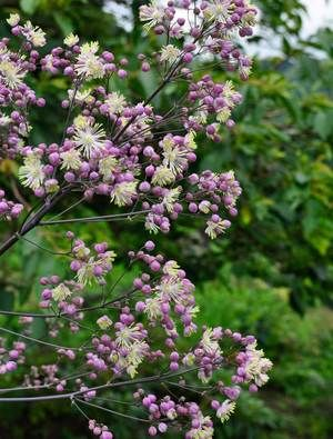 Thalictrum 'Elin': Glaucous leaves, fine tall stems with bobbles of lilac flowers that open with long cream stamens.