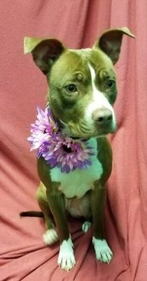 Pictures of Baby a American Pit Bull Terrier for adoption in New Albany, IN who needs a loving home.