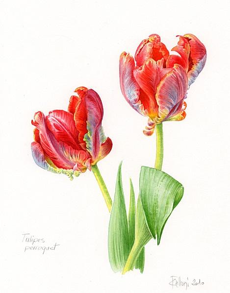 Tulipes Perroquet I Claire Felloni